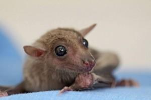 גורי עטלפים - בית החולים לחיות הבר