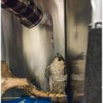 טיפול בעופות דורסים
